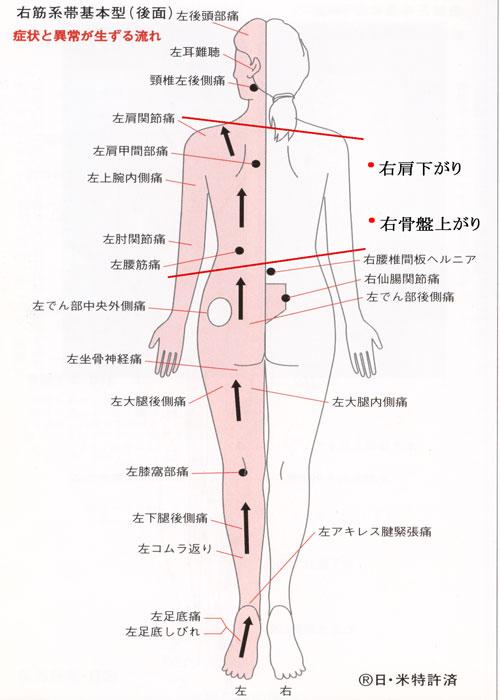 右筋系帯後ろ